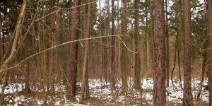Im Haunstetter Wald werden ab heute alte Nadelbäume gefällt. Das schafft Licht und Platz für junge Edellaubgehölze. Foto: Forstverwaltung